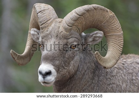 Close-up of a Big Horn Sheep in Glacier National Park in Montana - stock photo