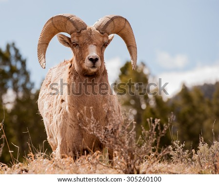 Close up of a big horn sheep ram looking at photographer - stock photo