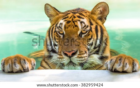 Close up of a big tiger in the water in Thailand, Asia. - stock photo
