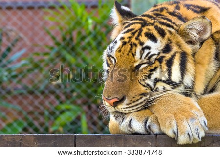 Close up of a big tiger sleeping in outdoor, Thailand, Asia. - stock photo