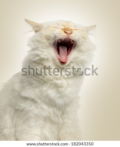 Close-up of a Birman cat yawning, 5 months old, on beige background - stock photo