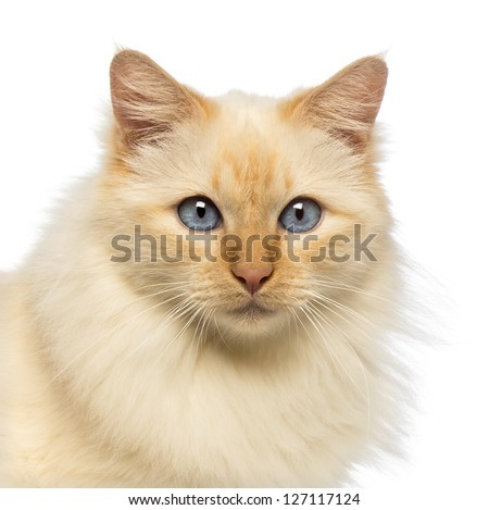 Close-up of a Birman looking at camera against white background - stock photo
