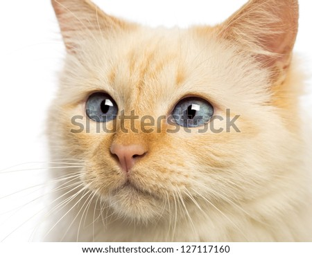 Close-up of a Birman looking away against white background - stock photo