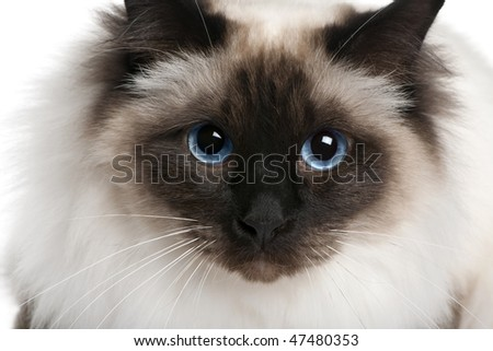 close up of a Birman (2 years old) - stock photo