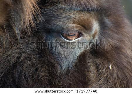 Close up of a Bison bonasus - stock photo