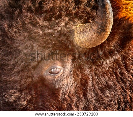 Close up of a bison, eyes, ears and horn showing, Yellowstone National Park - stock photo