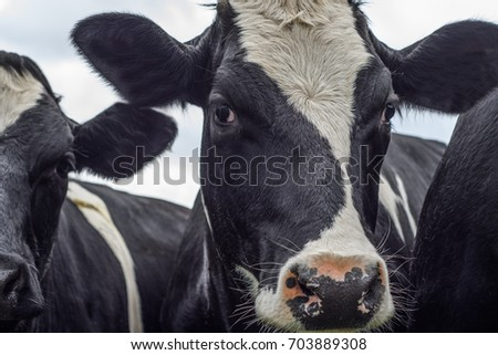 Close up of a black and white cow