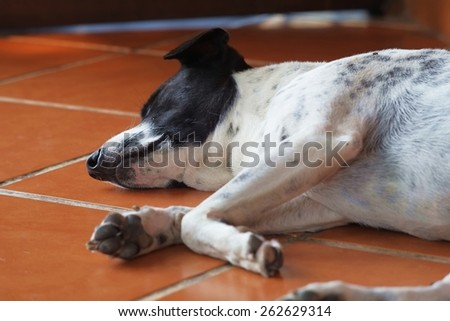 close up of a black and white dalmatian dog no purebred laying on the floor. - stock photo