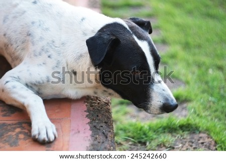close up of a black and white dalmatian dog no purebred laying on the floor.Looking ahead, I am thinking about something. - stock photo