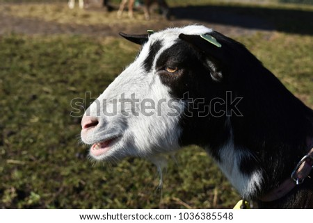 Close Up Of A Black And White Goat Head In Profile
