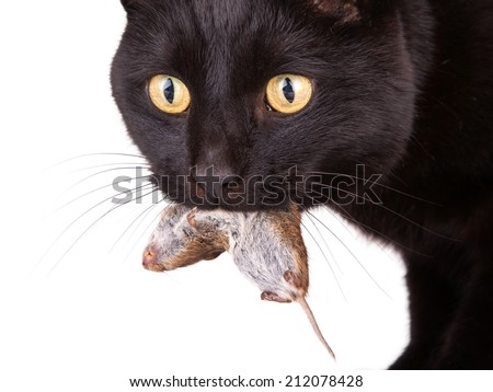 Close up of a black cat with his prey, a dead mouse - stock photo