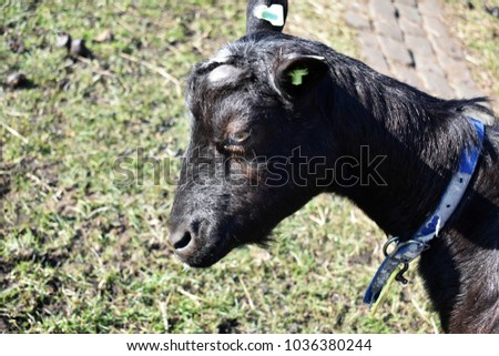Close Up Of A Black Goat Head In Profile