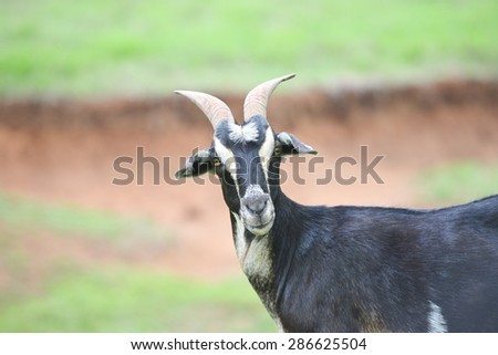 Close up of a black goat on a farm - stock photo