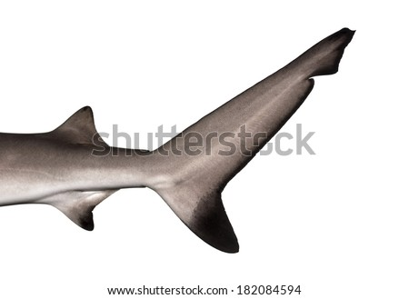 Close-up of a Blacktip reef shark's caudal fin, Carcharhinus melanopterus, isolated on white - stock photo