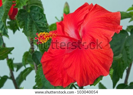 Close-up of a blooming flower on a Hibiscus tree - stock photo
