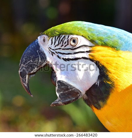 Close up of a Blue and Gold Macaw Face - stock photo