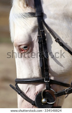 Close up of a blue-eyed gray stallion  - stock photo