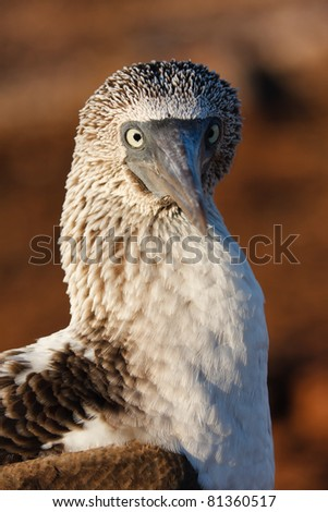 Close-up of a blue-footed booby - stock photo
