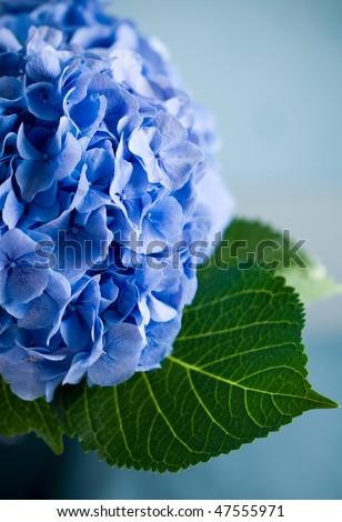 Close-up of a blue hydrangea plant - stock photo