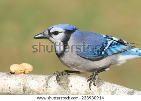 Close-up of a Blue Jay (corvid cyanocitta) eating peanuts with a green background and negative space - stock photo