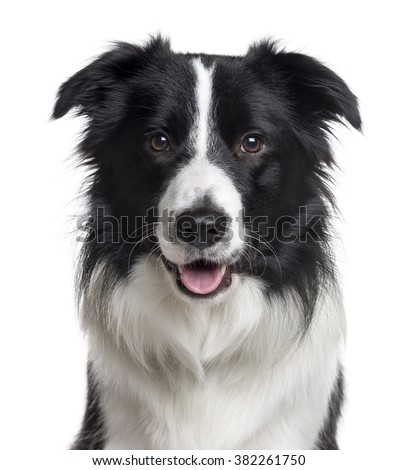 Close up of a Border Collie looking at the camera, isolated on white - stock photo