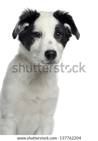 Close-up of a Border Collie, 3 months old, facing, isolated on white - stock photo