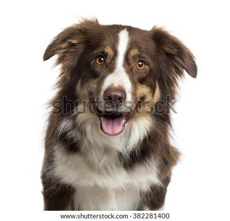 Close up of a Border Collie sticking the tongue out and looking at the camera, isolated on white (3 years old) - stock photo