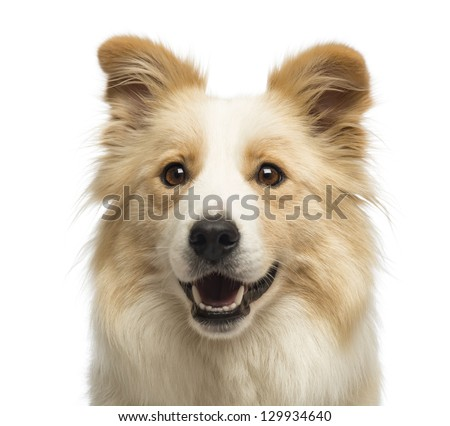 Close-up of a Border Collie, 2.5 years old, in front of white background - stock photo