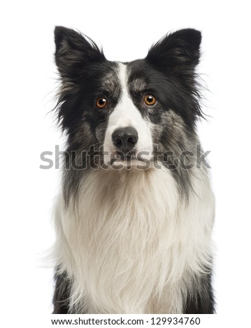 Close-up of a Border Collie, 8.5 years old, in front of white background - stock photo