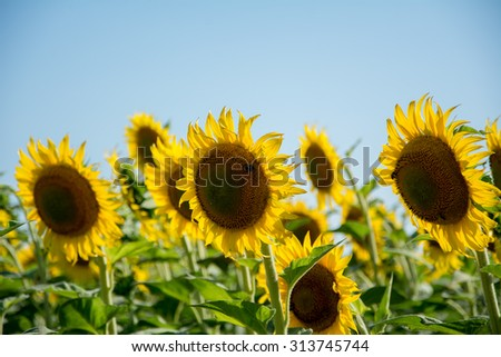 Close up of a bright yellow Sunflowers on the field. In the background is a clear blue sky. Picture taken on a nice sunny day. - stock photo
