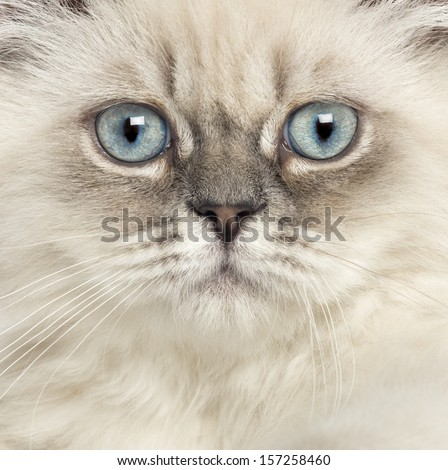 Close up of a British Longhair kitten, 5 months old - stock photo