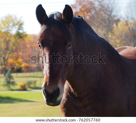 Close up of a brown American Quarter Horse with autumn scenery in soft-focus in the background
