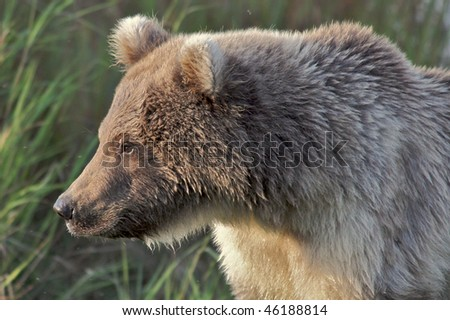 Close up of a brown bear cub in the wild - stock photo