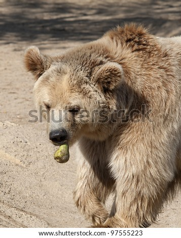 Close up of a Brown Bear Eating