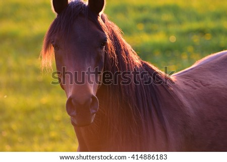 Close up of a brown horse looking straight into camera. Warm sunset light and green pasture background.