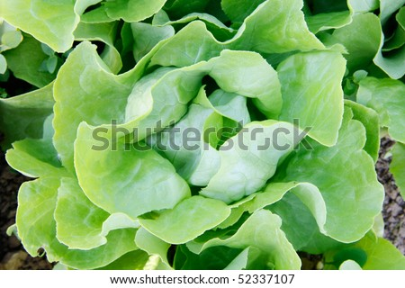 Close-up of a butter-head lettuce in the garden