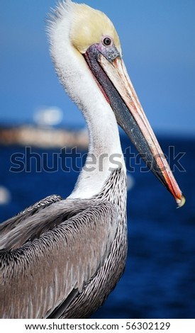 Close-up of a Californian pelican (Pelecanus erythrorhynchos) with ocean in the background - stock photo