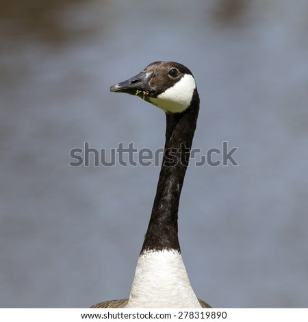 Close Up of a Canadian Goose - stock photo