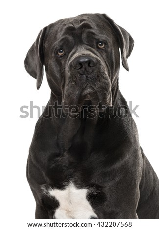 Close-up of a Cane Corso looking at the camera, isolated on white