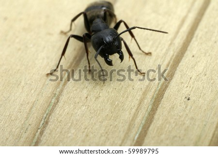 Close-up of a carpenter ant ready to attack with it's jaws - stock photo