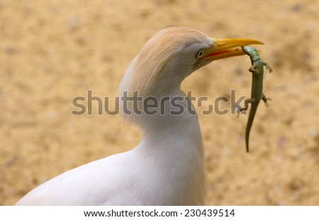 Close-up of a Cattle Egret catching a small lizard - stock photo