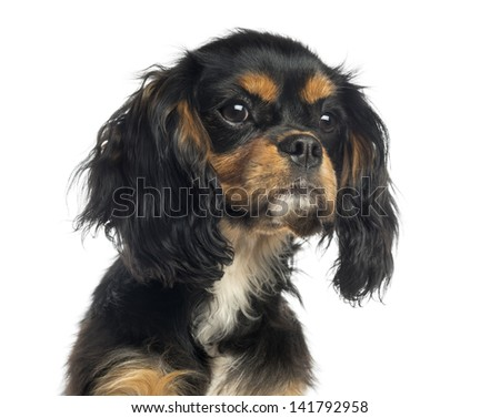 Close-up of a Cavalier King Charles Spaniel, isolated on white - stock photo
