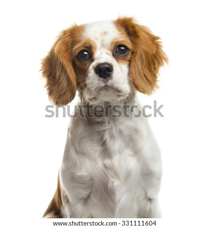 Close-up of a Cavalier Kingin front of a white background