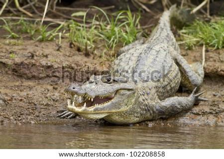Close up of a cayman (Caiman crocodilus fuscus) , Cano Negro reserve, Alajuela, Costa Rica - stock photo