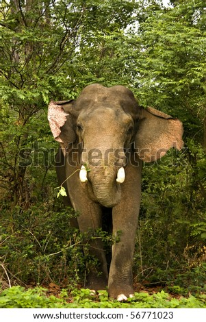 Close up of a charging male tusker elephant