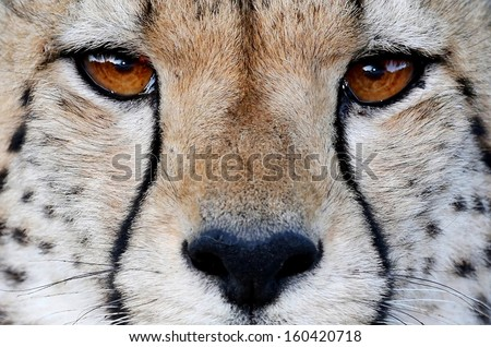 Close up of a Cheetah wild cat's striking brown eyes and black nose