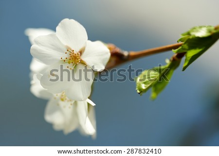 Close-Up of a Cherry Blossom in front of a blue sky - stock photo
