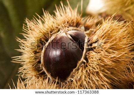 Close -up of a chestnut in its husk - stock photo