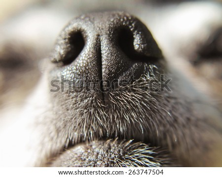 close up of a chihuahua's mouth and nose (very shallow depth of field)  - stock photo