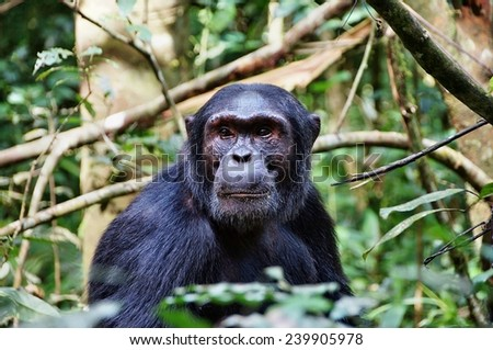 Close-up of a chimpanzee in Kibale Forest National Park, Uganda